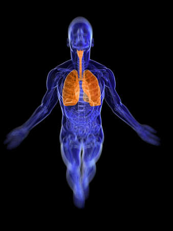 3d rendered, medical illustration of the human respiratory system  illustration