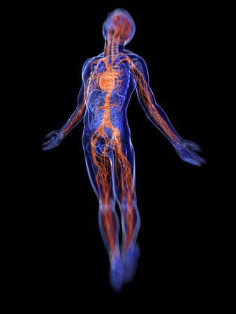 esqueleto humano: 3d rindió la ilustración médica del sistema vascular humano
