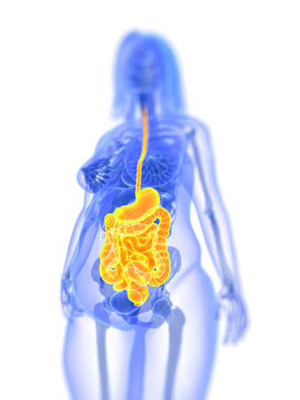 3d illustration of an overweight female - digestive system Stock Illustration - 12845322