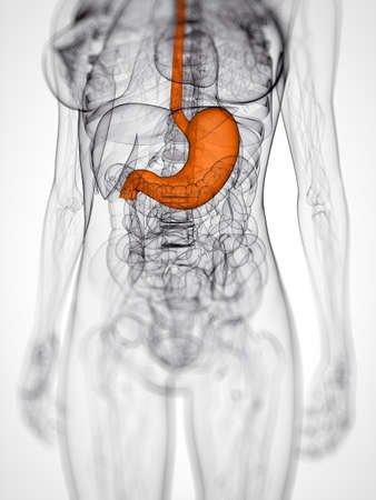 3d rendered scientific illustration of a female stomach Stock Illustration - 12585942