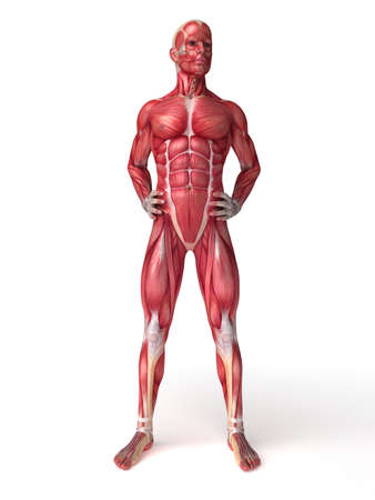 3d rendered scientific illustration of the males muscles Stock Illustration - 12585831