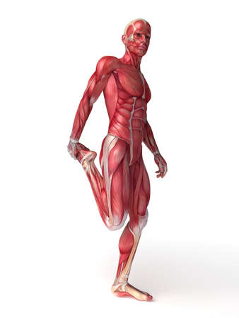 anatomy muscles: 3d rendered scientific illustration of the males muscles