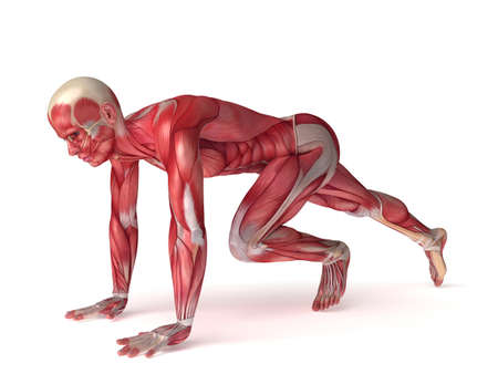anatomy muscle: 3d rendered scientific illustration of the males muscles