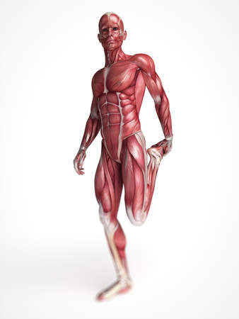 muscle anatomy: 3d rendered scientific illustration of the males muscles