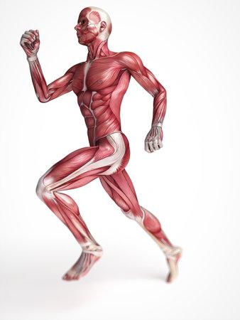anatomie humaine: 3d a rendu l'illustration scientifique des muscles m�les