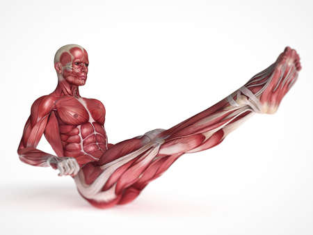 3d rendered scientific illustration of the males muscles illustration