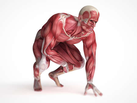 muscular men: 3d rendered scientific illustration of the males muscles