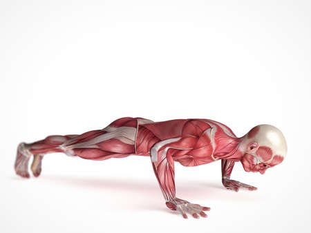 homo sapiens: 3d rendered scientific illustration of the males muscles