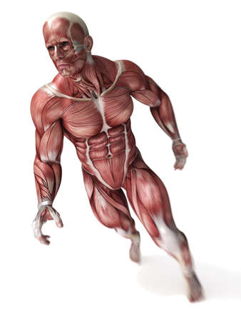 naked male: 3d rendered scientific illustration of the males muscles
