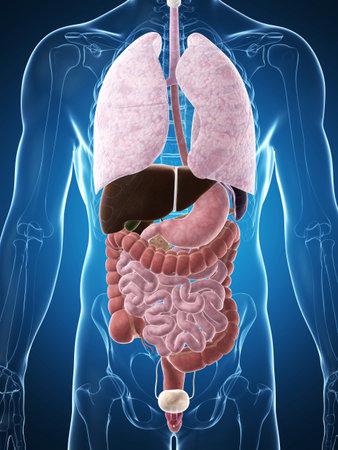 intestin: Illustration de rendu 3D de l'anatomie humaine