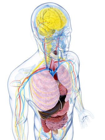 nervios: 3d rindi� la ilustraci�n de la anatom�a masculina Foto de archivo