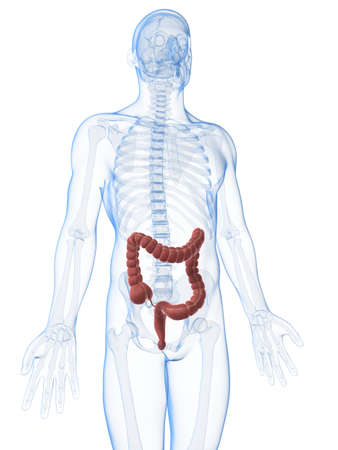 3d rendered illustration of the male colon Stock Illustration - 17906192