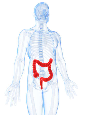 3d rendered illustration of the male colon  illustration