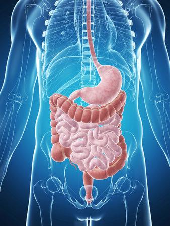 intestino: 3d rindió la ilustración del aparato digestivo masculino Foto de archivo