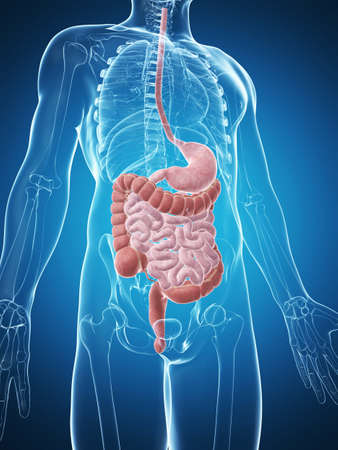 from small bowel: 3d rendered illustration of the male digestive system Stock Photo