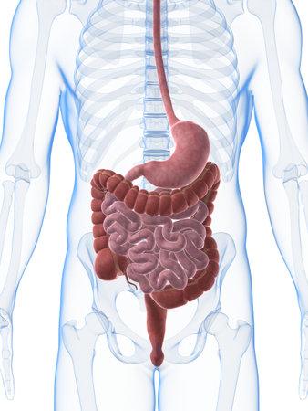 sistema digestivo: 3d rindi� la ilustraci�n del aparato digestivo masculino Foto de archivo