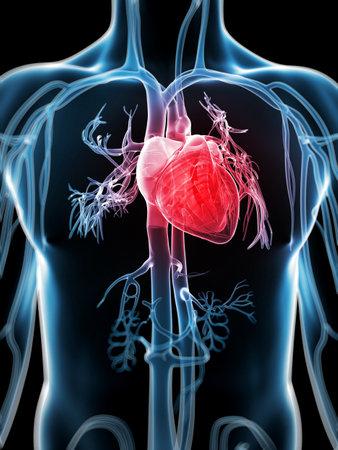 3d rendered illustration of the human vascular system illustration