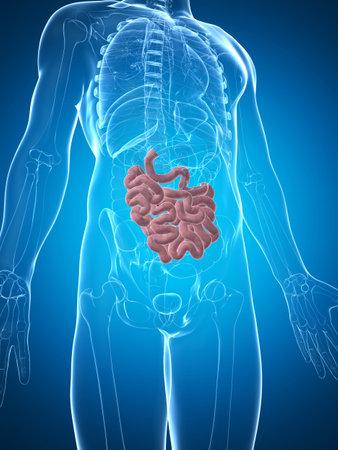 abdomen: 3d rendered illustration of the male small intestine Stock Photo