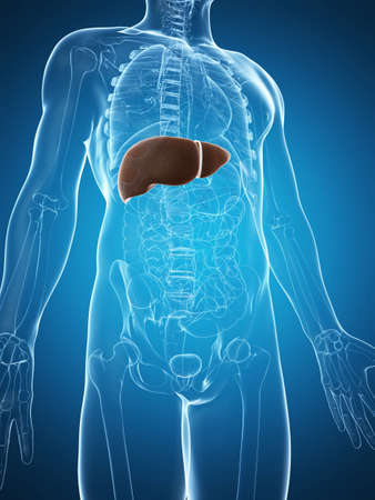 3d rendered illustration of the male liver illustration
