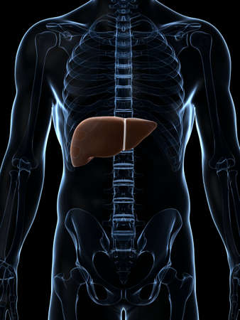 3d rendered illustration of the male liver Stock Illustration - 17910984