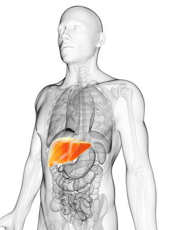 higado humano: 3d rindió la ilustración del hígado masculino