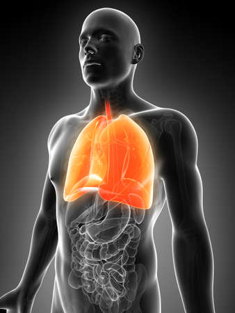 airways: 3d rendered illustration of the male lung
