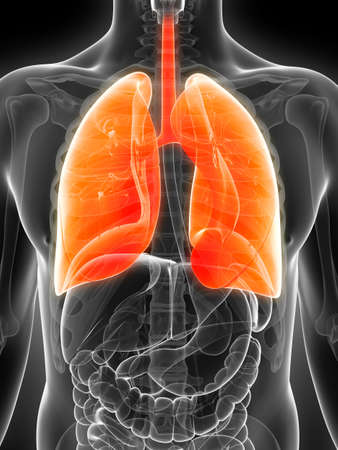 3d rendered illustration of the male lung illustration