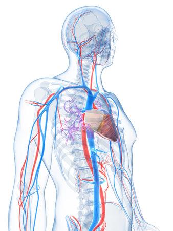 vena: 3d rendered illustration of the human vascular system