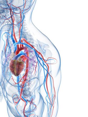 corazon humano: 3d rindi� la ilustraci�n del sistema vascular humano