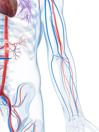 vascular: 3d rendered illustration of the human vascular system