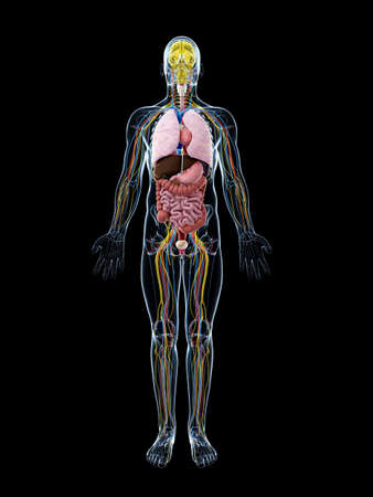 anatomie humaine: 3d illustration rendu de l'anatomie masculine