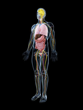 human anatomy: 3d rindi� la ilustraci�n de la anatom�a masculina Foto de archivo