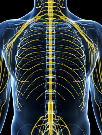 nervios: 3d rindió la ilustración del sistema nervioso masculino