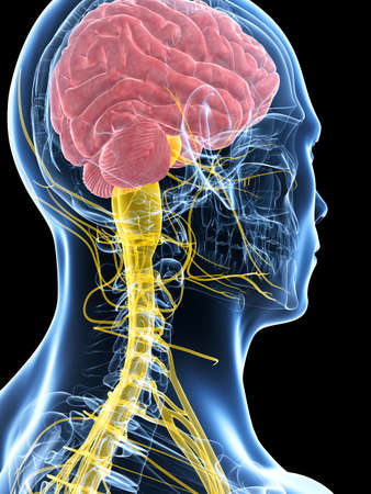 spinal cord: 3d rendered illustration of the male nerve system Stock Photo