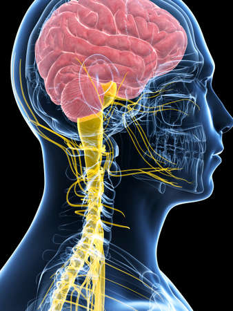 plexus: 3d rendered illustration of the male nerve system Stock Photo