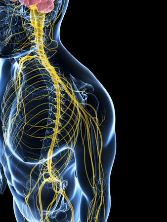 3d rendered illustration of the male nerve system illustration