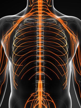 median: 3d rendered illustration of the male nerves Stock Photo
