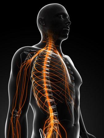 medula espinal: 3d rindió la ilustración de los nervios masculinos