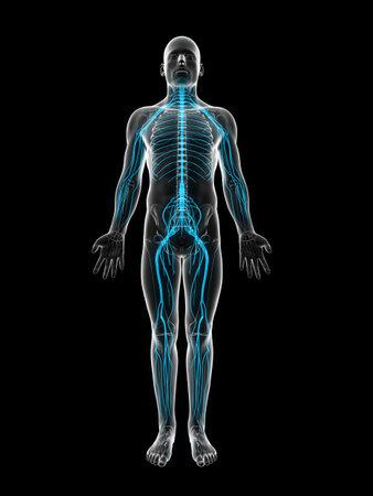 mediaan: 3d teruggegeven illustratie van het mannelijk zenuwstelsel Stockfoto