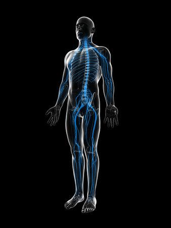 medula espinal: 3d rindió la ilustración del sistema nervioso masculino