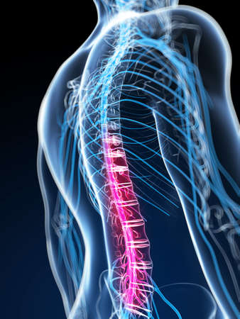 nervous system: 3d rendered illustration of the spinal cord Stock Photo