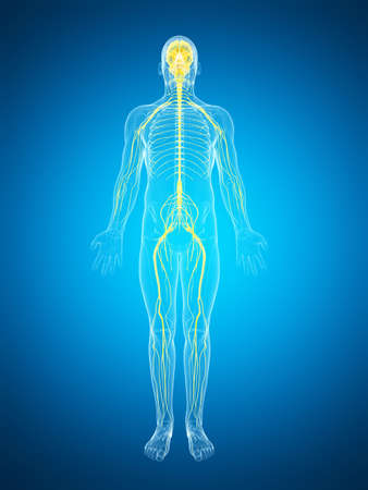 median: 3d rendered illustration of the male nerve system Stock Photo
