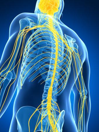 3d illustration rendu du système nerveux mâle