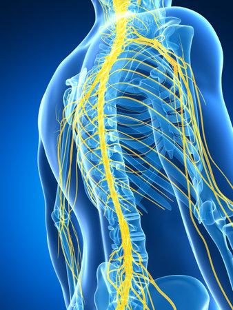 medula espinal: 3d rindi? la ilustraci?n del sistema nervioso masculino