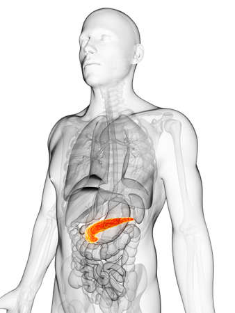pancreas: 3d rendered illustration of the male pancreas