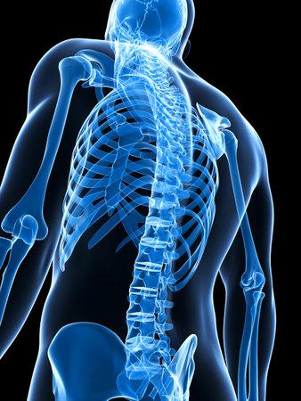 spina dorsale: Illustrazione di rendering 3D dello scheletro maschio Archivio Fotografico