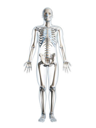anatomy skeletal: 3d rendered illustration of the male skeleton Stock Photo