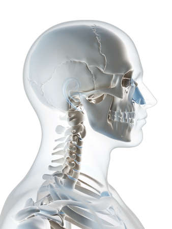 3d rendered illustration of the male skeleton illustration