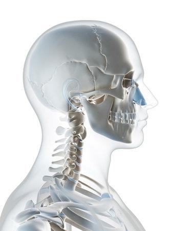 huesos humanos: 3d rindió la ilustración del esqueleto masculino Foto de archivo
