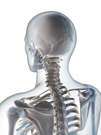 huesos humanos: 3d rindi? ilustraci?el esqueleto masculino Foto de archivo
